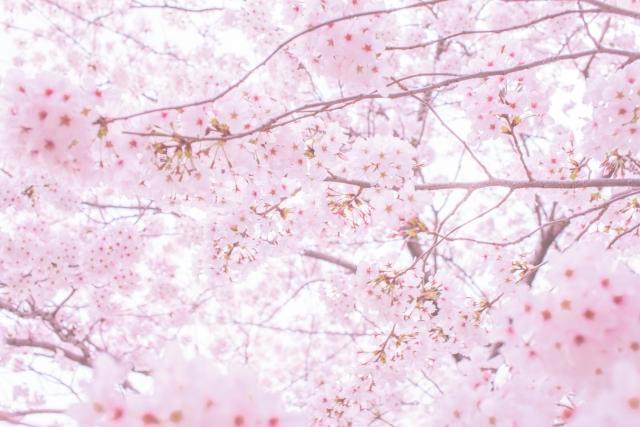桜ブレンド新発売